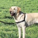 Gentle Leader Harness S/M Blk with Front Leash Attachment